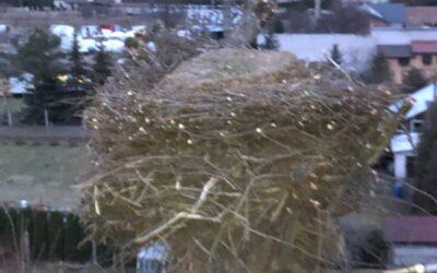 Budowa bocianiego gniazda – na wysokości z podnośnika.